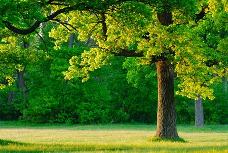 ek: Dawn, the young leaves of oak trees covered the first rays of the sun. Stockfoto