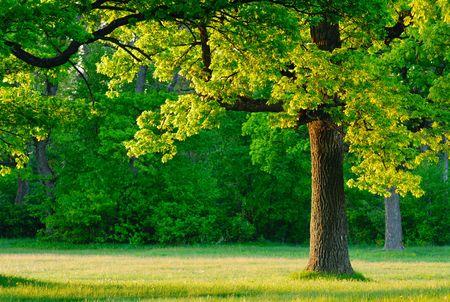 Dawn, de jonge bladeren van eiken bomen bedekt de eerste stralen van de zon.  Stockfoto