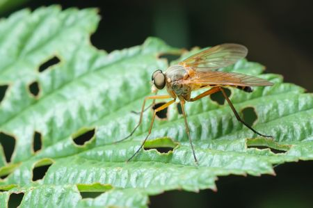 Predatory fly, Snipe-fly (Rhagio scolopaceus) on a leaf of plant in the meadow photo