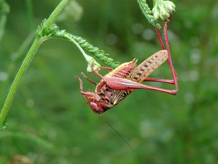 milfoil: Grey grasshopper an unusual coloration on a milfoil.