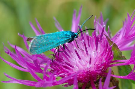 forester: The bright, green butterfly Forester (Adscita statices) on a flower Centaurea pratensis