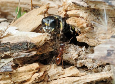 burrows: Unexpected meeting - solitary wasp (Ectemnius), crawl out of burrows, and the ant Myrmica rubra.