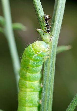 unexpected: Unexpected meeting - green caterpillar and the ant Formica fusca. Stock Photo