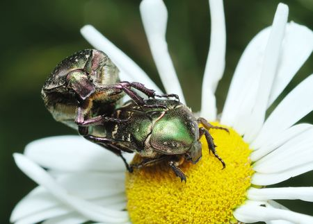 Mating bugs rose chafer (Cetonia aurata) on a flower. photo