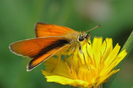 ochlodes: Small bright orange butterfly Large Skipper (Ochlodes sylvanus).