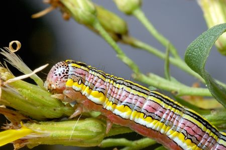 withered flower: Bright striped caterpillar on a withered flower. Stock Photo