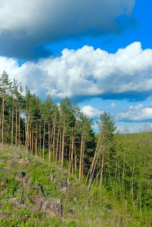 timber cutting: Clouds in the blue sky above the pine forest and timber cutting.