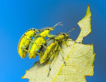 curculionidae: Three weevil beetle (Coleoptera, Curculionidae) on a leaf of tree against the blue sky. Stock Photo