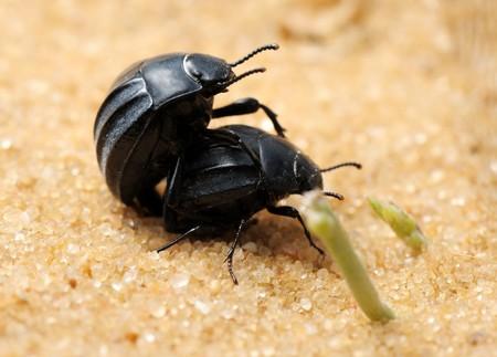 waterless: Mating darkling beetles in the desert, Israel