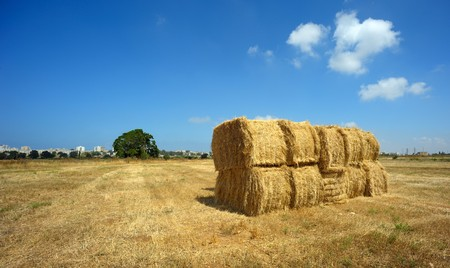waterless: May, time to harvest wheat in Israel Stock Photo