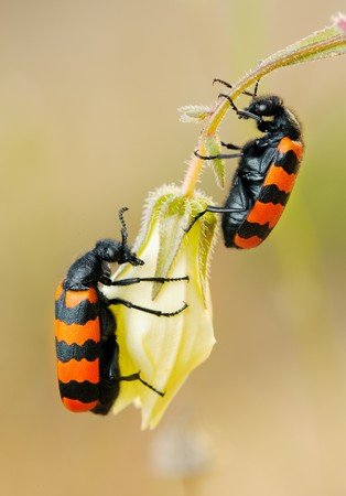 Poisonous blister beetles with bright black and red warning coloration