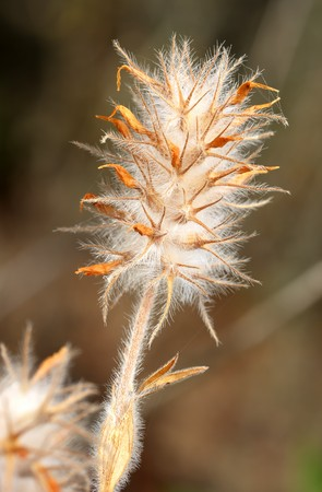 waterless: Plant with dense white hairs, Israel