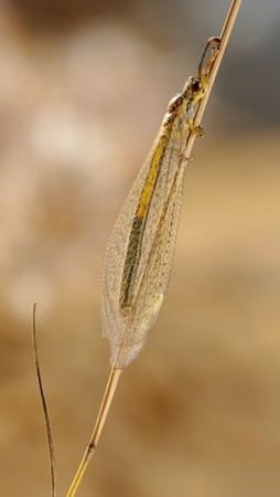 imago: Imago of the ant-lion in the grass. Stock Photo