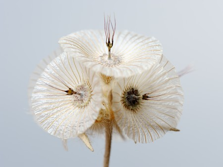 waterless: plant with a flower like a white plate, Israel