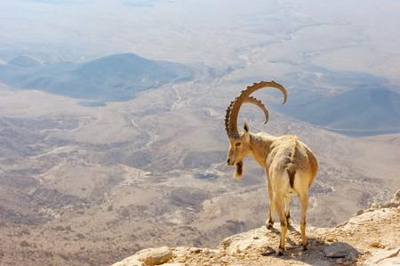 desert animals: Makhtesh Ramon, capra di montagna nel cratere univoco di Israele