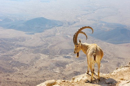 Makhtesh Ramon, mountain goat in the unique crater of Israel