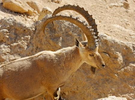 berggeit: Berg geit in het Makhtesh Ramon, Israël
