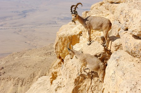 mountain goats: capre di montagna sulle pendici del cratere Makhtesh Ramon, Israele  Archivio Fotografico