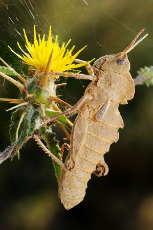 Grasshopper on Yellow prickly flower in Israel Stock Photo - 7088035