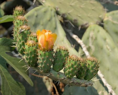 ovaire: Les fleurs et les fruits ovaire gros cactus aciculaire opuntia, Isra�l.