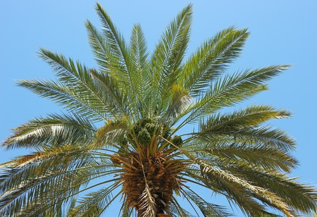 The top of date palm, leaves and immature fruit photo
