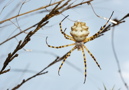 argiope: Spider argiope lobed on the web among the grass