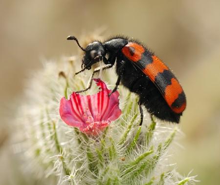 明るい黒と赤の警告の色を持つ有毒ツチハンミョウ