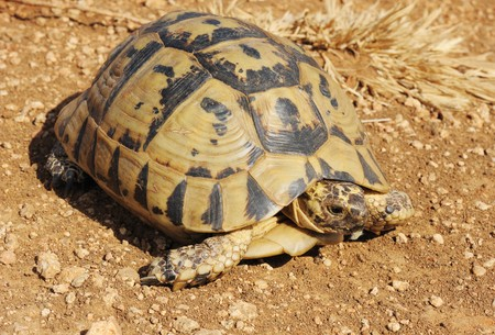 A turtle with a yellow-black carapace crawling on the ground Фото со стока