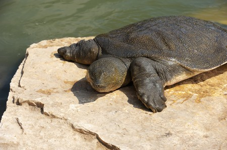 Nile Soft-shelled Turtle (Trionyx triunguis) in the river Alexander (Israel)