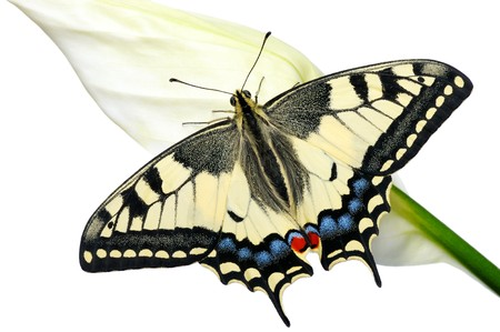 swallowtail: Swallowtail butterfly on a flower Spathiphyllum on a white background, isolated. Stock Photo