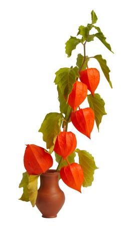 brightest: Physalis, la pianta pi� brillante di autunno, ramoscello in una pentola di argilla Archivio Fotografico