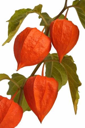 brightest: Physalis, ramoscello pianta autunno pi� brillante, isolata
