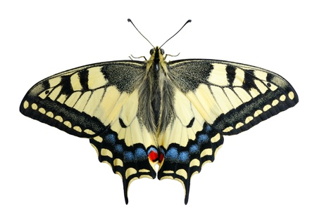 papilionidae: Swallowtail butterfly on a white background, isolated.