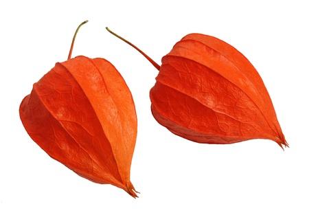 brightest: Physalis, pianta autunno pi� brillante, isolato su uno sfondo bianco