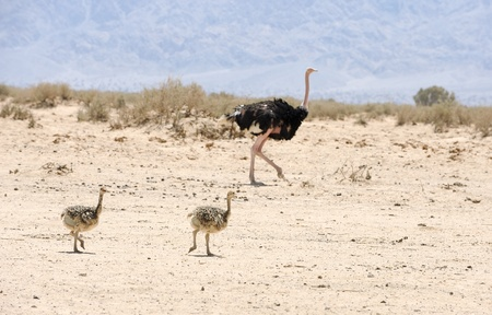 ostrich chick: African ostrich and ostrich chick in the reserve Hai-Bar Yotvata in southern Israel. Stock Photo