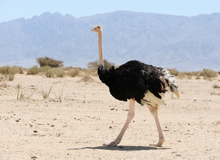 the ostrich: African ostrich in the reserve Hai-Bar Yotvata in southern Israel.