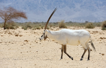 Oryx in the reserve Hai-Bar Yotvata in southern Israel. Stock Photo