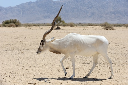 Antelope Addax in the reserve Hai-Bar Yotvata in southern Israel.