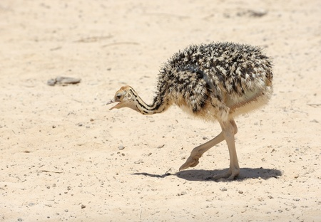 ostrich chick: African ostrich chick in the reserve Hai-Bar Yotvata in southern Israel. Stock Photo