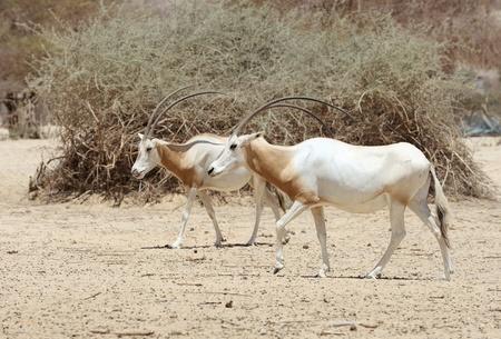 scimitar: Scimitar Oryx in the reserve Hai-Bar Yotvata in southern Israel.
