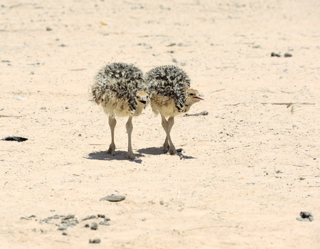 ostrich chick: Two african ostrich chick in the reserve Hai-Bar Yotvata in southern Israel. Stock Photo
