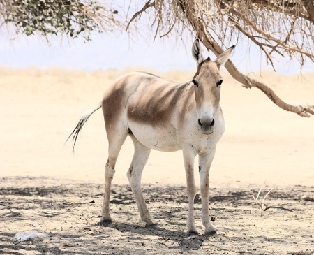 Onager in the reserve Hai-Bar Yotvata in southern Israel.