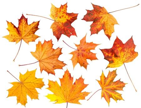 Conjunto de hojas de arce rojo y amarillo del otoño, aislado en un fondo blanco. Foto de archivo