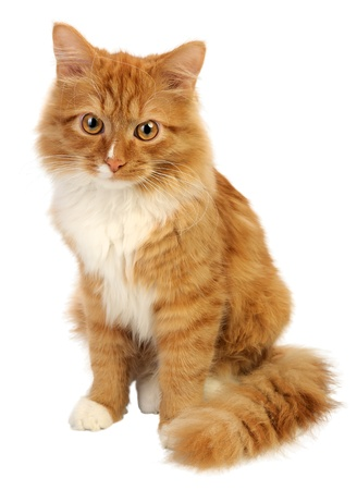Young ginger cat, isolated on a white background photo