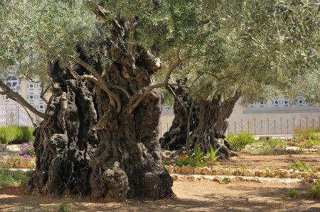 agony: Garden of Gethsemane on the Mount of Olives