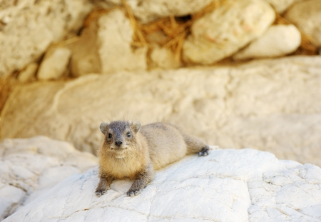 ein: Yellow-spotted Rock Hyrax in the Ein Gedi Nature Reserve