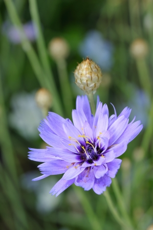officinal: Blue ornamental and medicinal flowers of chicory