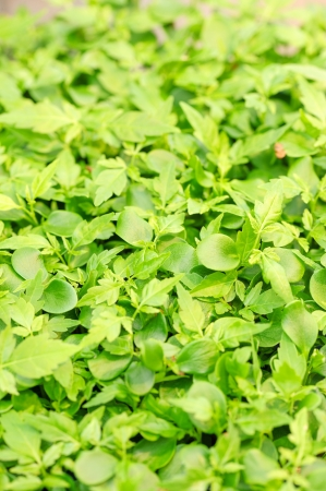 substrate: Cress varieties tahoon on artificial substrate, close-up Stock Photo