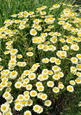 matricaria: White Matricaria flowers on a summer green meadow  Stock Photo