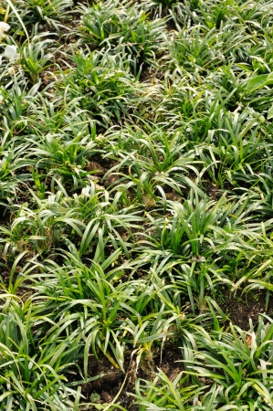 Ophiopogon japonicus,  evergreen sod-forming perennial plant in the garden